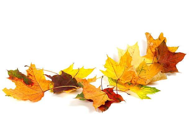 Autunno asciutto maple leafs isolato su sfondo bianco - foto stock
