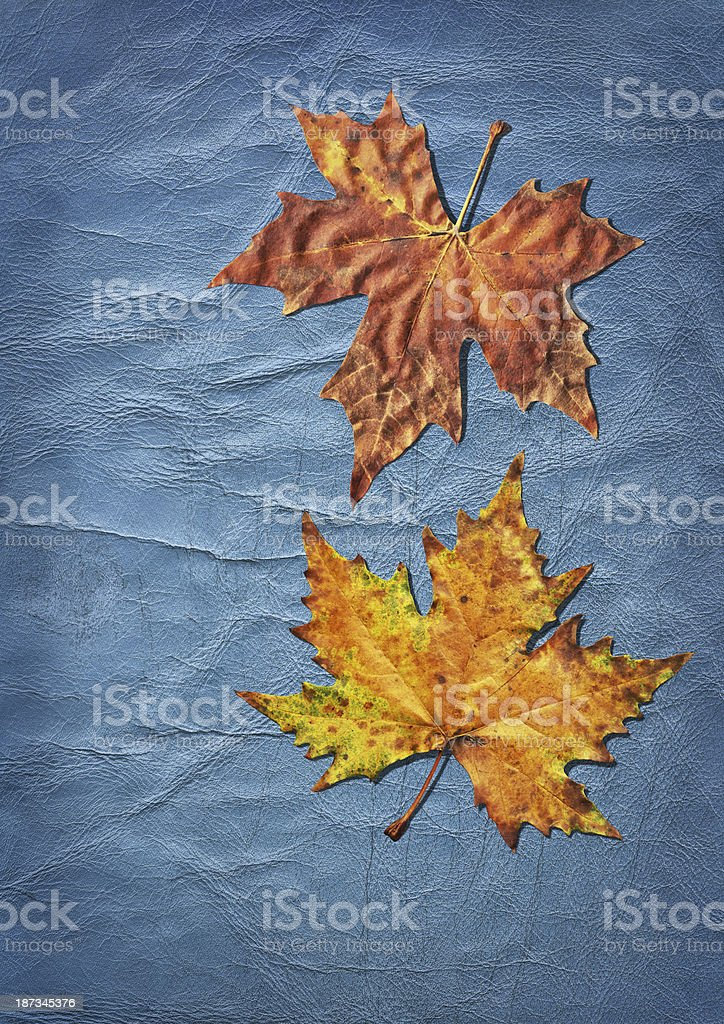 Autumn Dry Maple Leaves Isolated on Old Blue Wizened Cowhide royalty-free stock photo