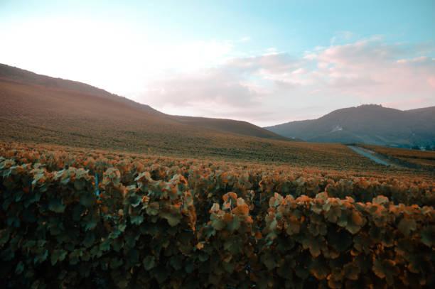 höstens skymning över vingårdarna - bernkastel kues höst bildbanksfoton och bilder