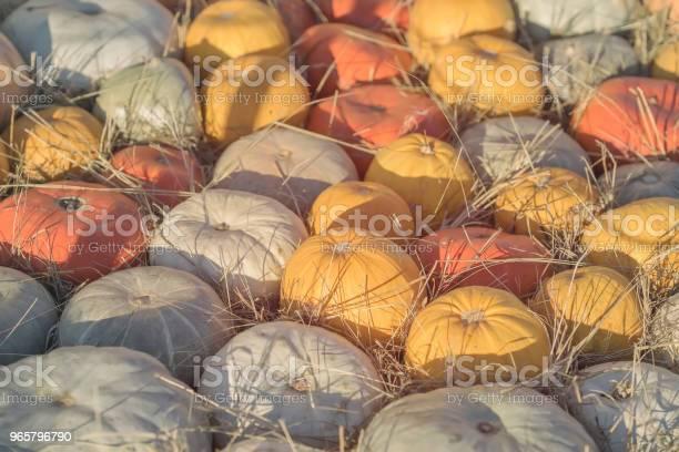 Autumn Fall Achtergrond Met Rijpe Verschillende Biologische Pumpkins Op Droge Stro Oogst Concept Symbool Voor Thanksgiving Day Stockfoto en meer beelden van Archiefbeelden