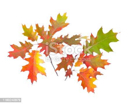 Autumn fall oak leaves isolated