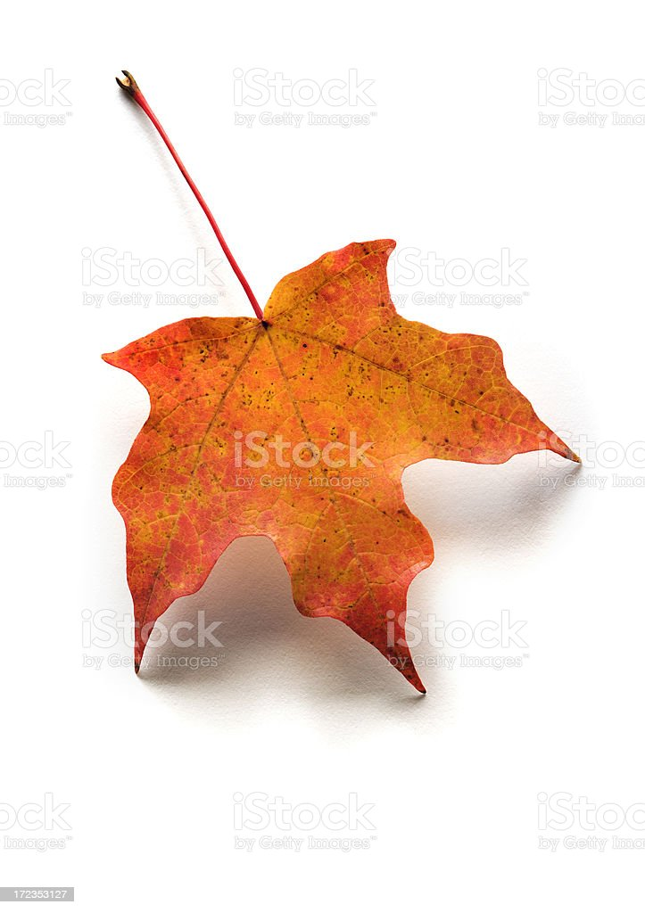 Autumn, Fall Red Maple Leaf Isolated on White Background royalty-free stock photo