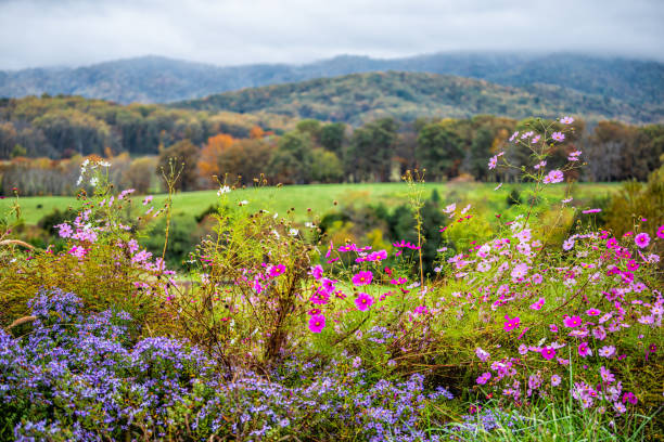 Autumn fall season rural countryside with foreground of many colorful beautiful flowers at winery vineyard in blue ridge mountains of Virginia with sky and rolling hills stock photo