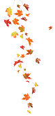 Falling Maple Leaves.