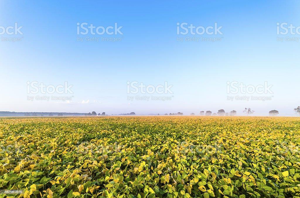 Autumn Falls Over a Vast Soybean Field Under Clear Sky stock photo