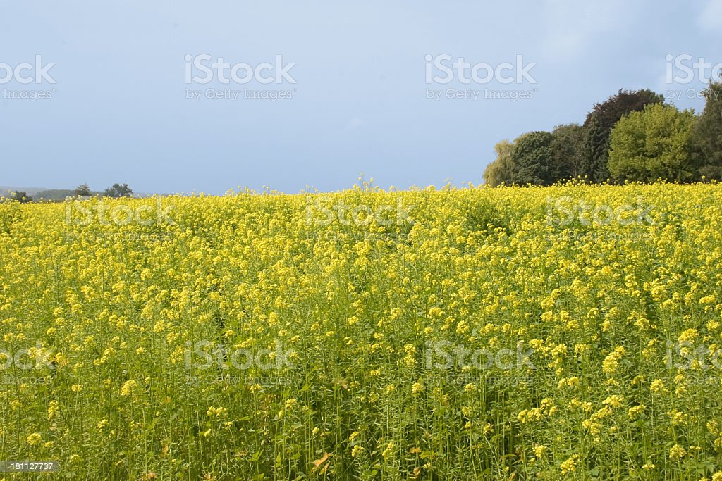 Autumn field with rapeseed royalty-free stock photo