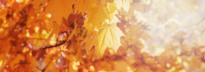 1038696838 istock photo Autumn floral image. Red and yellow foliage of maple in the sunlight. Autumnal branches in nature. panoramic view, panoramic copy space. 1149321460