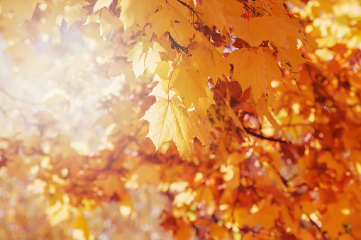 1038696838 istock photo Autumn floral image. Red and yellow foliage of maple in the sunlight. Autumnal branches in nature. 1149321530