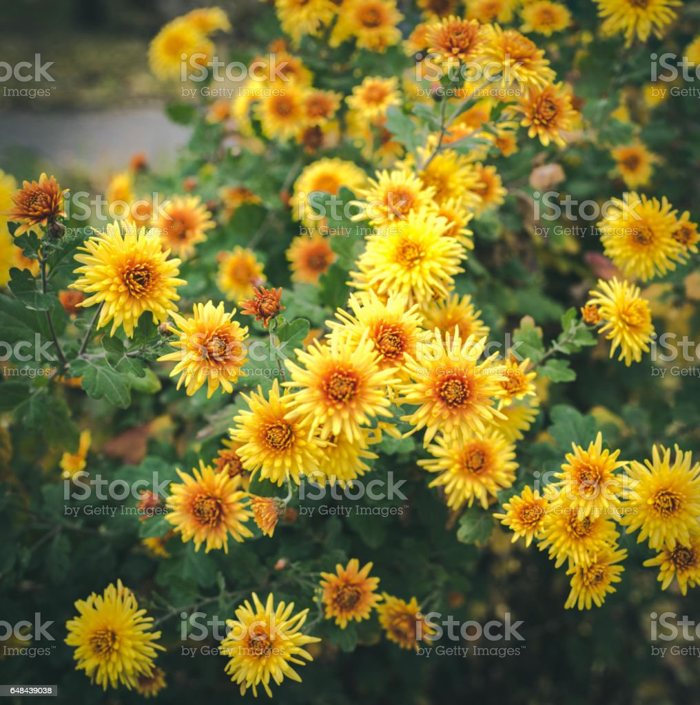 Autumn Flowers Beautiful Chrysanthemums In Flower Bed Yellow Asters