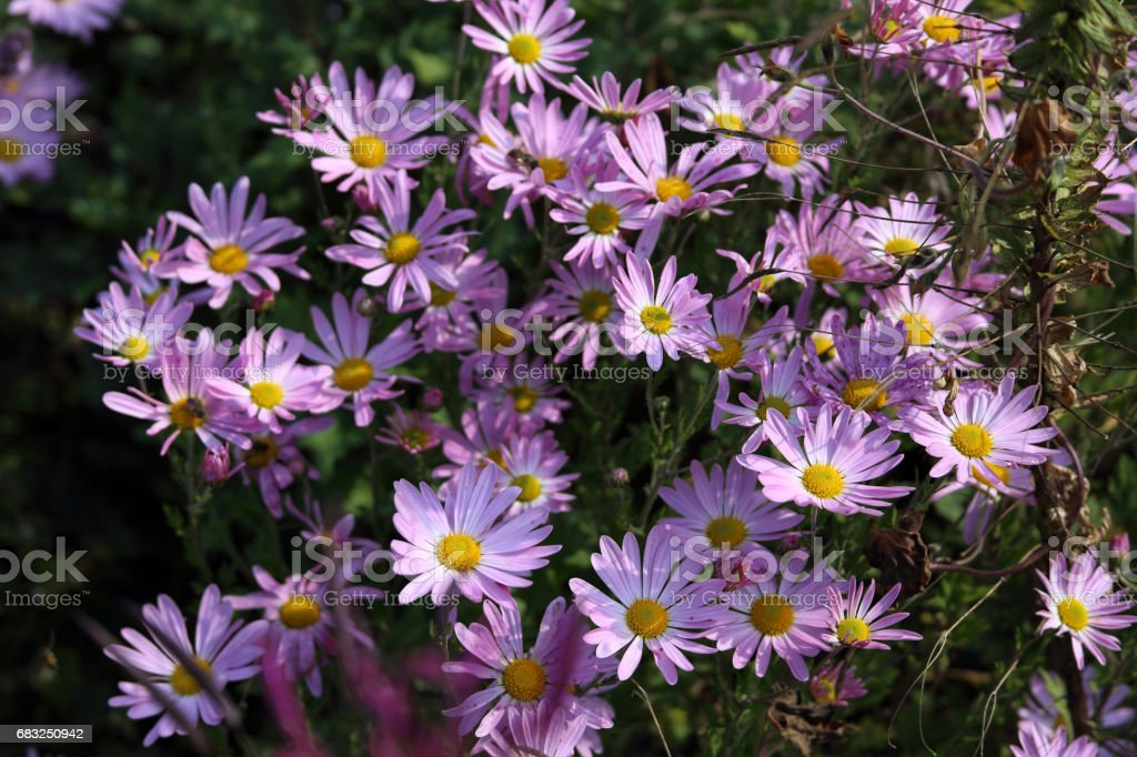 Autumn flowers. Chrysanthemums background royalty-free 스톡 사진
