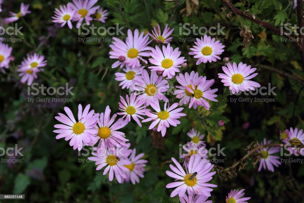 Autumn flowers. Chrysanthemums background Lizenzfreies stock-foto