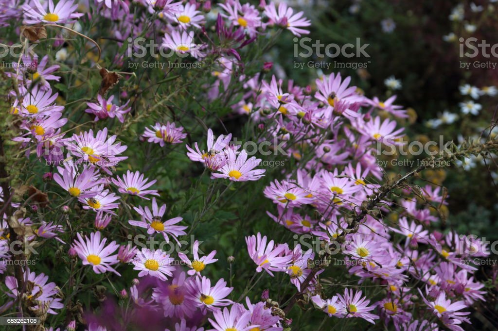 Autumn flowers. Chrysanthemums background foto de stock royalty-free