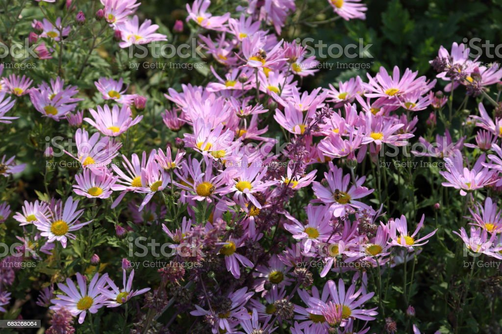 Autumn flowers. Chrysanthemums background royalty-free stock photo