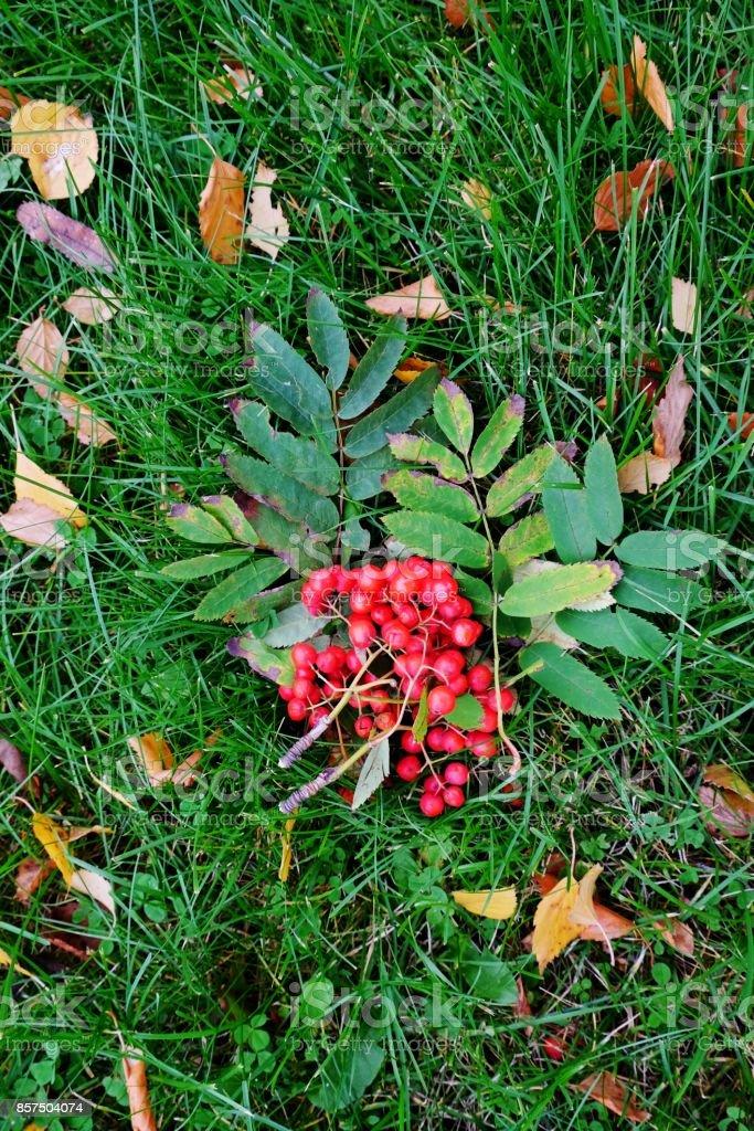Autumn foliage and rowanberries background. stock photo