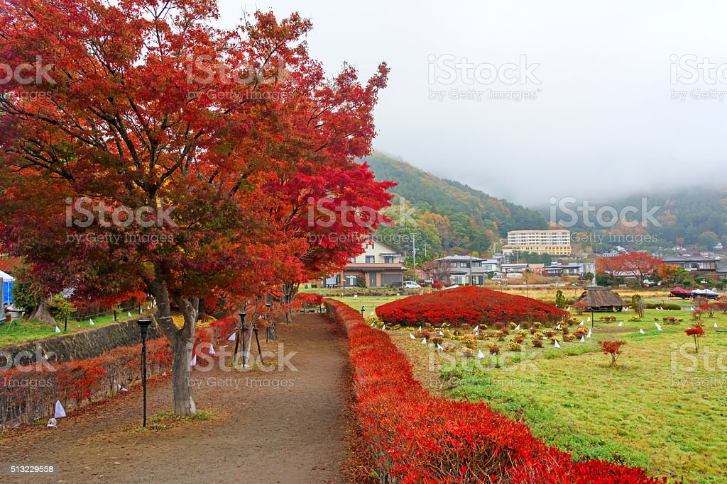 Autumn foliage at Maple corridor in Kawaguchiko stock photo