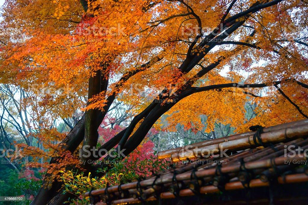 Autumn foliage in Rikugien Garden, Komagome, Tokyo stock photo