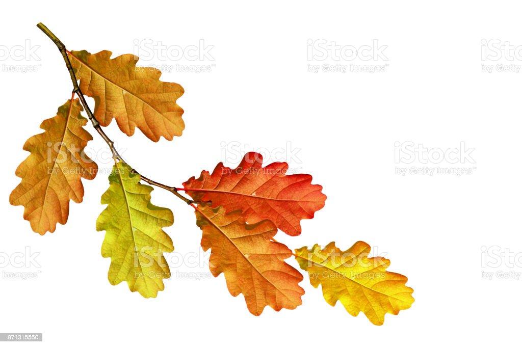 autumn foliage isolated on white background stock photo