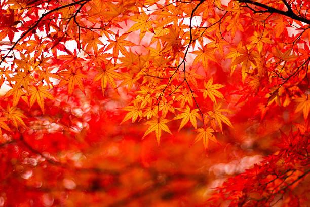 feuillage d'automne - feuillage automnal photos et images de collection