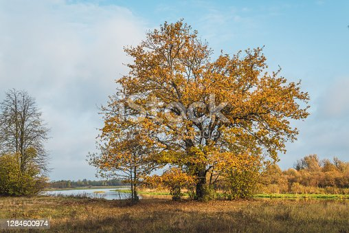 Autumn forest. Belarusian landscape. Large old oak tree on the river bank. Sprawling branches with yellow leaves against a blue sky with clouds.