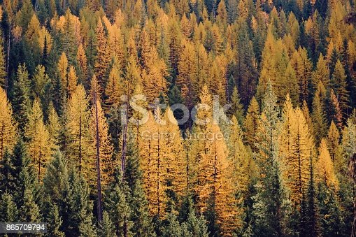 Golden tamarack pines in Northern Idaho. Mountainside full of yellow and green Fall pine trees.
