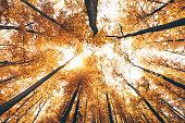 Golden autumn trees from below.