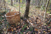 Autumn forest gathering mushrooms by the basket and the birch in the sunlight.