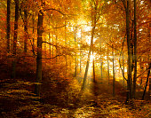 Deciduous Forest of Beech, Oak and Maple Trees with Leafs Changing Colour Illuminated by Sunbeams through Fog