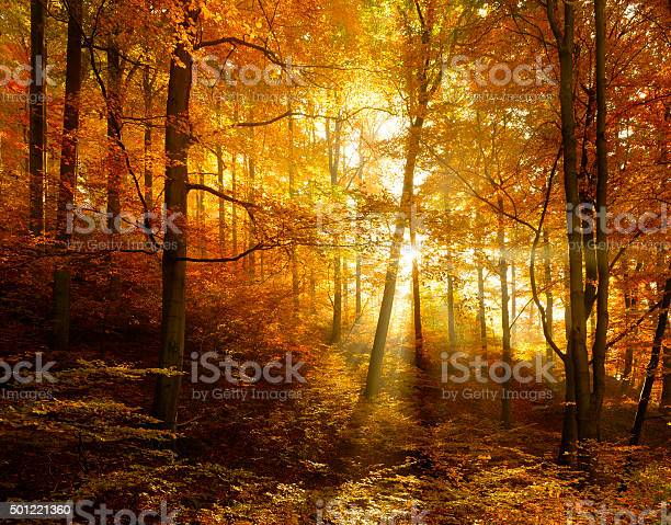Autumn forest illuminated by sunbeams through fog leafs changing picture id501221360?b=1&k=6&m=501221360&s=612x612&h=6ld9sqhqtfuu281h6waj5e6mt0ry82ungzlrgxmh3nu=