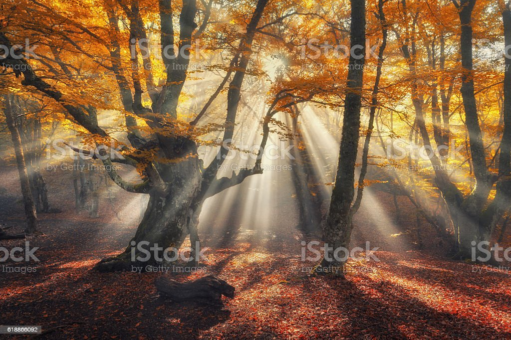 Autumn forest in fog with sun rays. Magical old trees stock photo