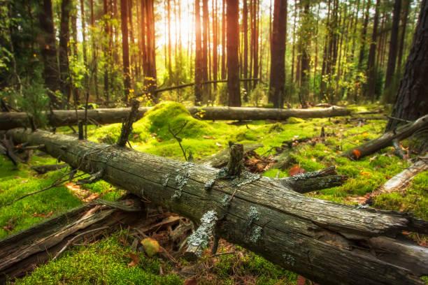 hösten skogslandskapet. strålande sol i vacker skog. marken täcks av grön mossa. gammalt torrt träd i gröna skogen. fantastiska skog i gyllene solljus. - pine forest sweden bildbanksfoton och bilder