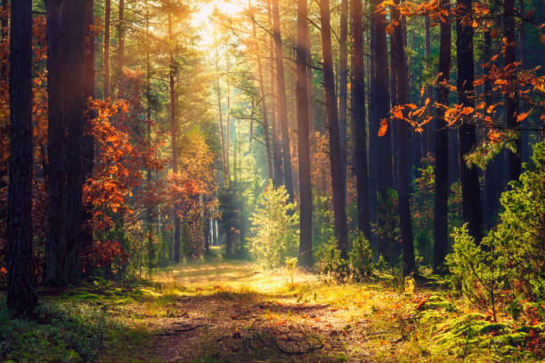 autumn forest landscape. colorful foliage on trees and grass shining on sunbeams. amazing woodland. scenery fall. beautiful sunrays in morning forest - forest imagens e fotografias de stock