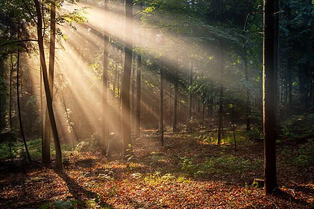 Autumn Forest - Morning Sun Rays XXXL image stock photo
