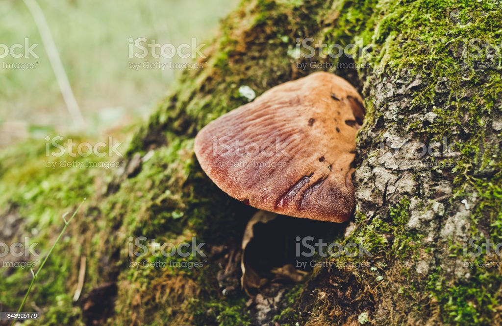 Autumn forest mushrooms and old mossy stump stock photo