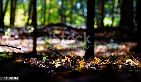 Forest with fallen maple leaves on ground along hiking trail in Rouge National Urban Park, Toronto, Ontario, Canada. Shallow depth of field