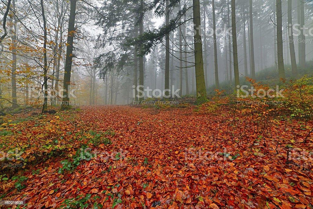 Forêt d'automne avec pines dans la brume. - Photo