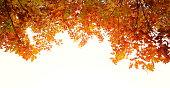Autumn foliage on white.