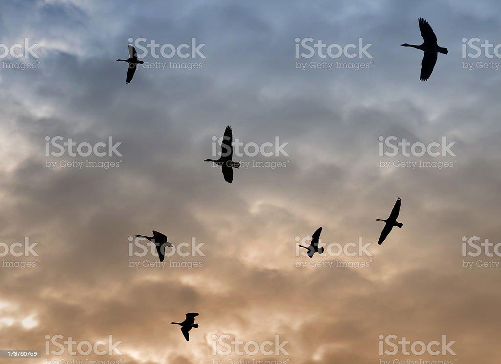 Autumn Geese Migration stock photo
