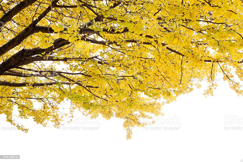 Autumn Ginkgo Leaves on White - Photo
