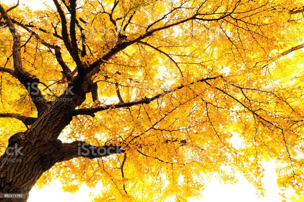 Autumn ginkgo stock photo