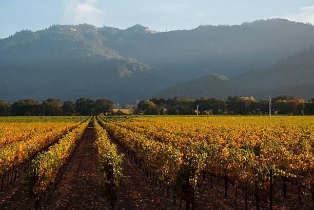 goldener herbst in der frühen morgensonne napa valley, kalifornien - robert weinberg stock-fotos und bilder