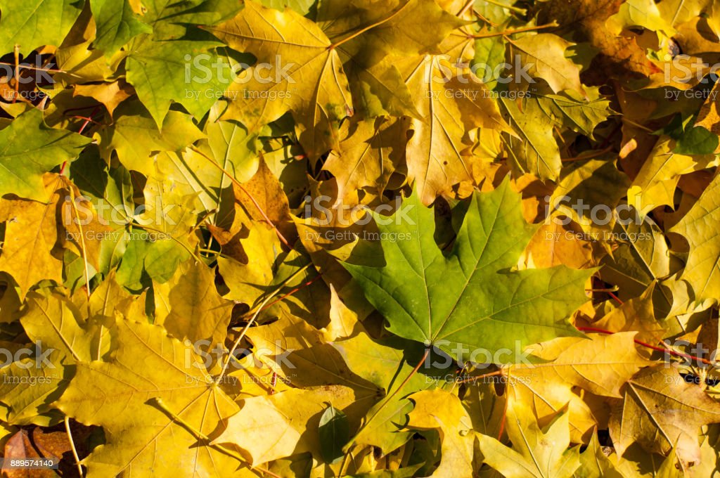 Autumn golden and green maple leaves on the ground stock photo