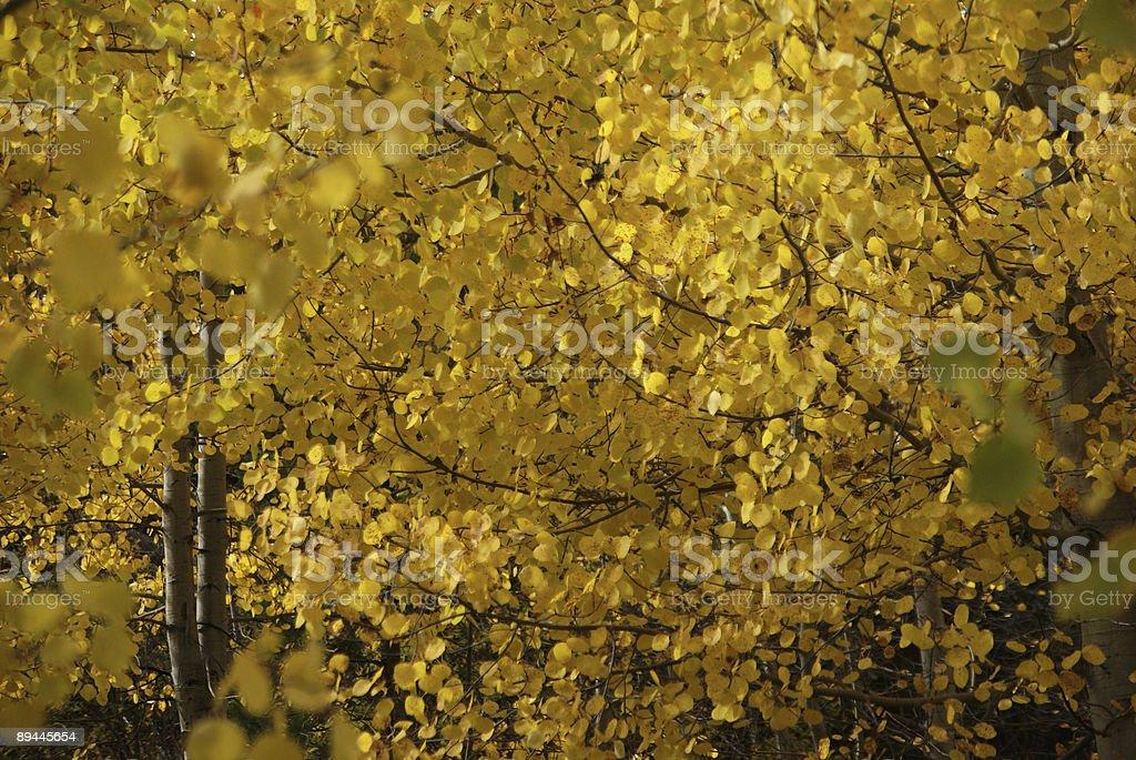 Autumn, golden aspens royalty-free stock photo