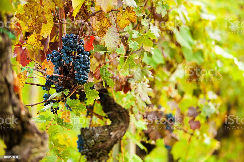 Autumn Grape Harvest Season stock photo