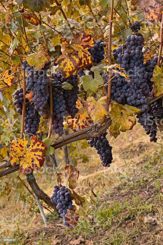 Autumn Grape royalty-free stock photo