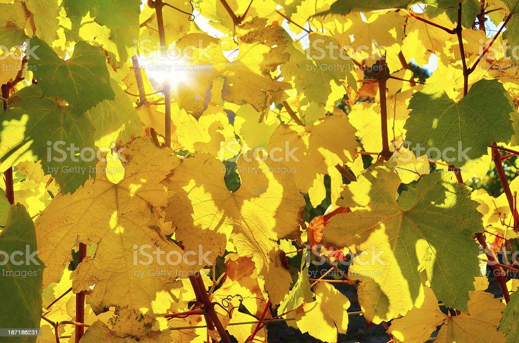 Autumn grape vines royalty-free stock photo