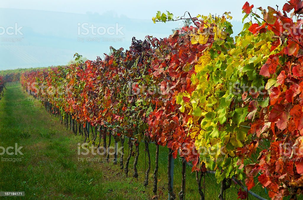Autumn grapes in the field royalty-free stock photo