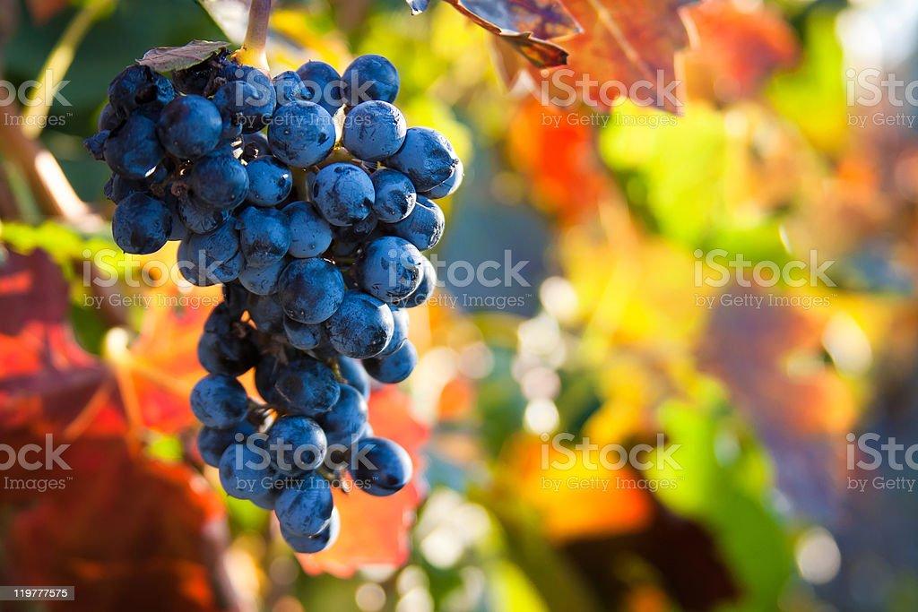 autumn grapes stock photo