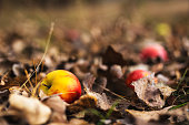 Autumn ground with colorful apples