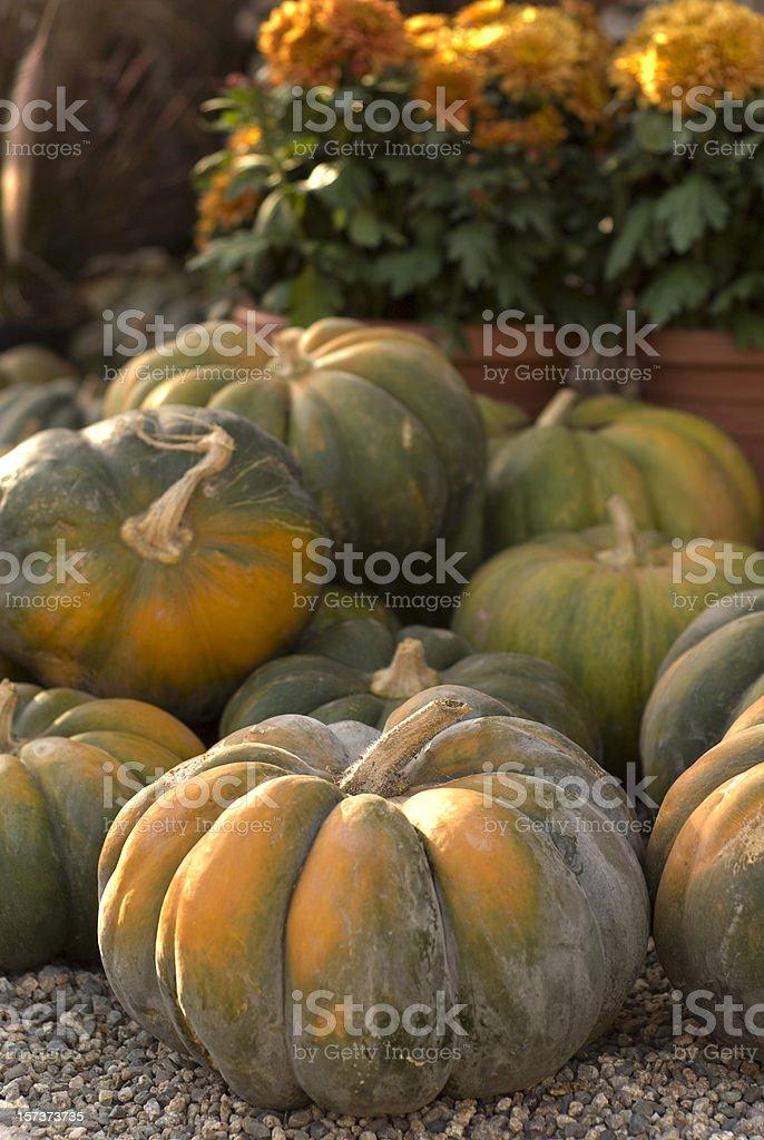 Autumn Halloween Vegetable Garden; Green & Orange Pumpkins, Thanksgiving Decorations royalty-free stock photo