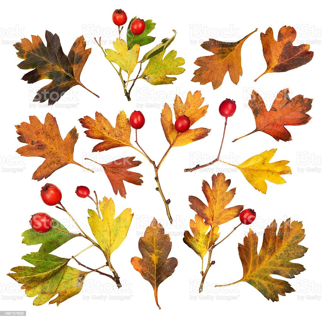 autumn hawthorn leaves collection, object set isolated on white stock photo